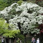 深大寺境内ナンジャモンジャの木